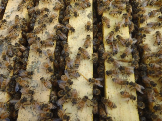 Neonicotinoid Clothianidin Pesticide kills over 80% of U.S. Honey Bees