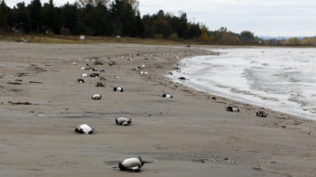 The Ministry of Natural Resources is investigating after 6000 birds and fish washed up on the shores of Georgian Bay near Wasaga Beach.