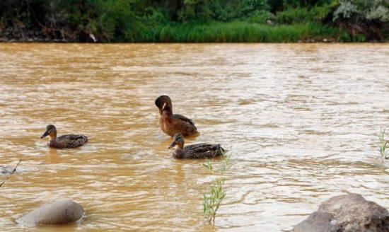 Ducks wade in Animas orange sludge