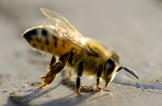 The Truth Denied- Nionicitinoid is killing out bees